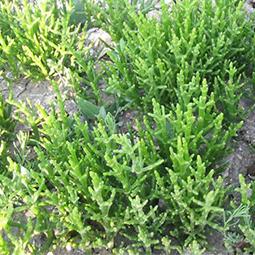 Salicorne des marais
